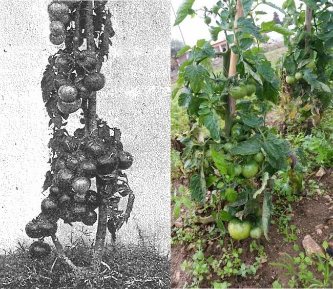 il pomodoro di strampelli varrone
