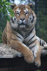 tigri1-200x300
