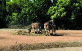 parco-zoo-falconara-nascita-zebra-1-163x102