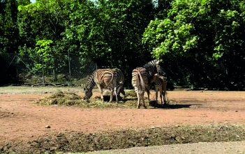 parco-zoo-falconara-nascita-zebra-1-351x221