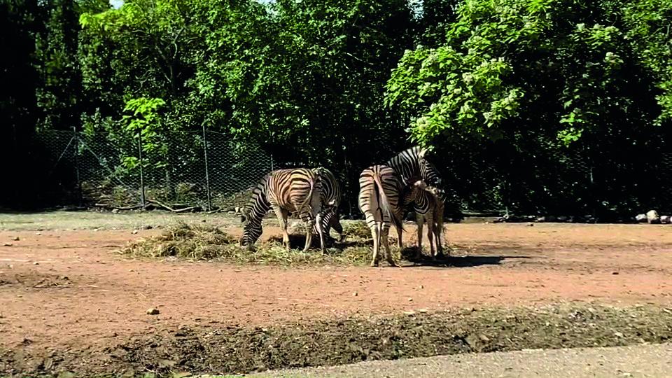 parco-zoo-falconara-nascita-zebra-1