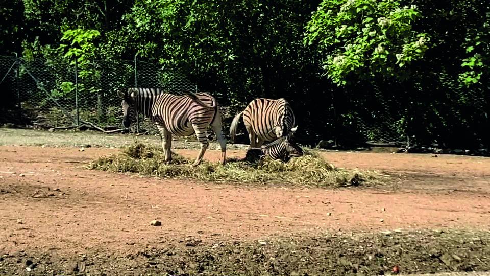parco-zoo-falconara-nascita-zebra-2