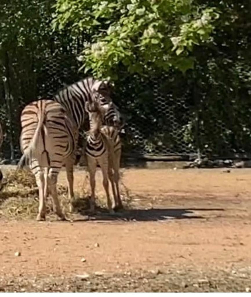 parco-zoo-falconara-nascita-zebra-3