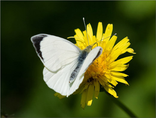 Foto-4-Farfalla-cavolaia